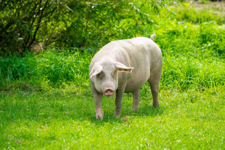 pig  standing on a grass lawn. The pig on the meadow