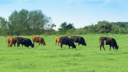 cows on meadow. Cow on a summer pasture Stock Photo