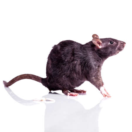 rat isolated on white background 版權商用圖片