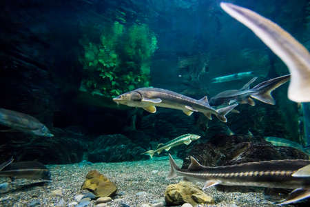 A sturgeon in the sea. Sea sturgeons in aquarium Фото со стока