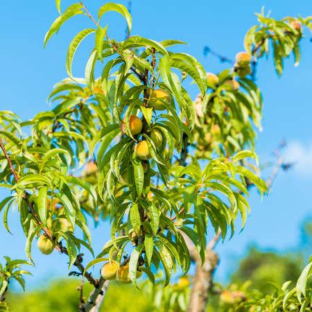 Fresh peach tree. Fresh organic ripe peach tree