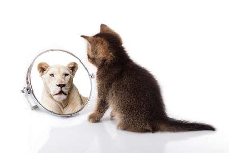kotek z lustrem na białym tle. kotek patrzy w lustrzane odbicie lwa Zdjęcie Seryjne