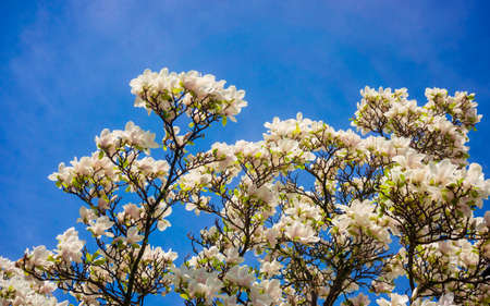 Magnolia. Flowers. Blooming trees