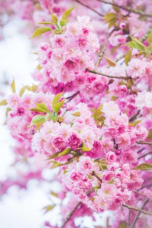 咲き誇る木の美しい自然シーン。春の花。春 写真素材