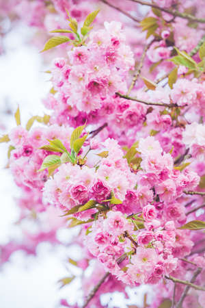 Beautiful nature scene with blooming tree. Spring flowers. Springtime