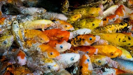 Koi Carp, Japanese big fish, underwate