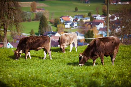 Cow on a summer pasture. cows in a field
