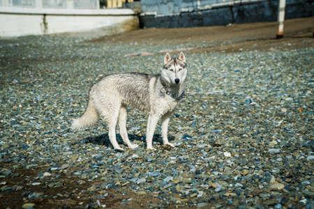 Huskies on a beach Archivio Fotografico - 101631482
