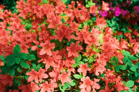Red azalea bush in the garden