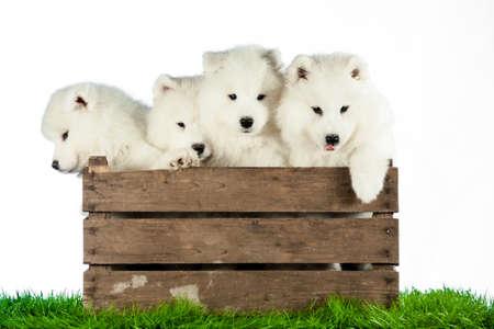 Samoyed Puppies in a box Standard-Bild