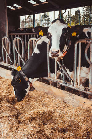 Cows on Farm. agriculture industry