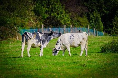 Cows on a green field 版權商用圖片