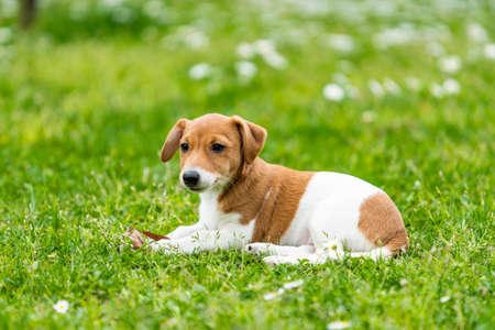 Jack Russel Terrier Hund draußen in der Natur auf Graswiese an einem Sommertag