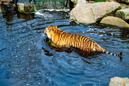 Tiger walking in the water Stockfoto