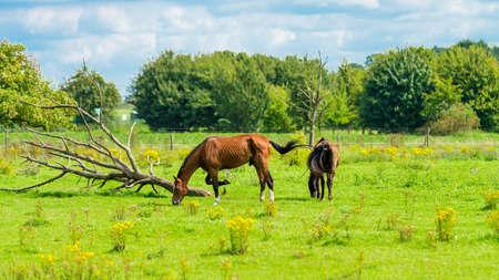 Beautiful chestnut horses on a farm
