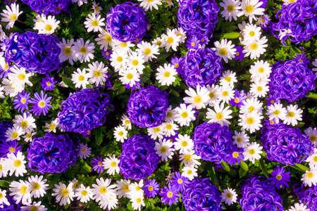 Hyacinth purple with Daisy flower in garden