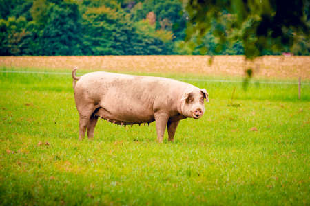 Pig  standing on a grass lawn.