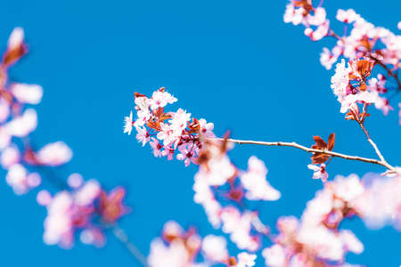 Cherry blossom sakura in spring time over blue sky