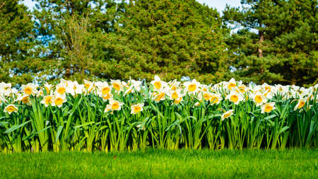 Panoramic view on White spring narcissus flowers
