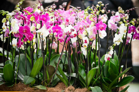 Orchid flower. Phalaenopsis orchid. beautiful flowers