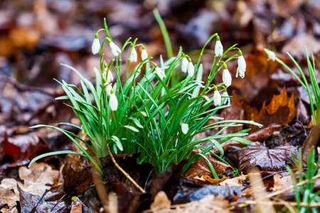 Snowdrops spring flowers. Beautifully blooming