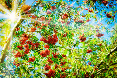 Rowan branch with a bunch of red ripe berries Foto de archivo