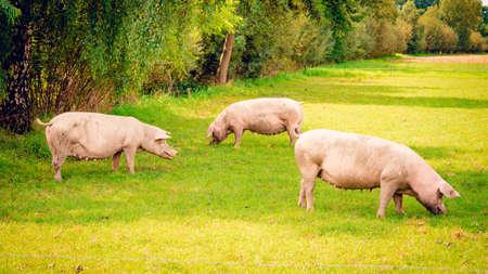 pig  standing on a grass lawn. Banco de Imagens
