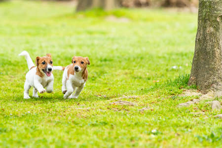 Two Jack Russell terriers playing. Two wonderful jack russell puppies Stockfoto