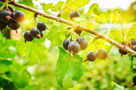 Branch of black currant in the garden 版權商用圖片