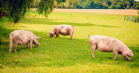 pigs in field. Healthy pig on meadow Stock Photo