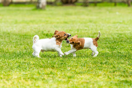 Two Jack Russell terriers playing. Two wonderful jack russell puppies Imagens
