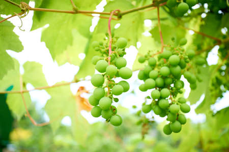 Ripe grapes on branch with leaves in wine region Banco de Imagens