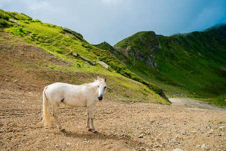 White horse on a mountain pasture. White wild horse