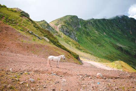 White horse on a mountain pasture.