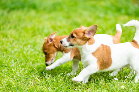 Two Jack Russell terriers playing. Imagens