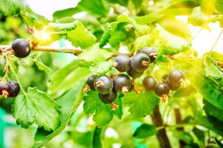 Branch of black currant in the garden Banco de Imagens