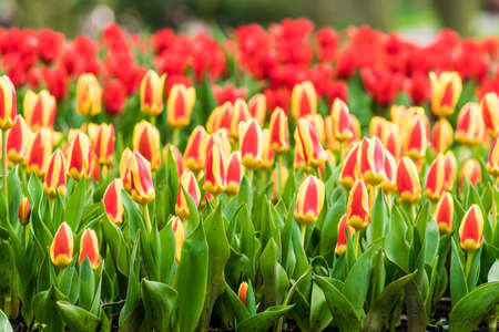 Colorful tulips in the spring in the garden Banco de Imagens