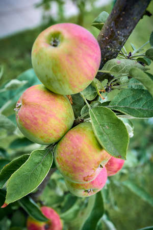 Ripe apples on a branch with green leaves