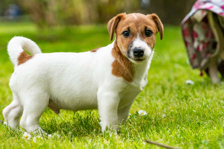 Jack russell on  meadow