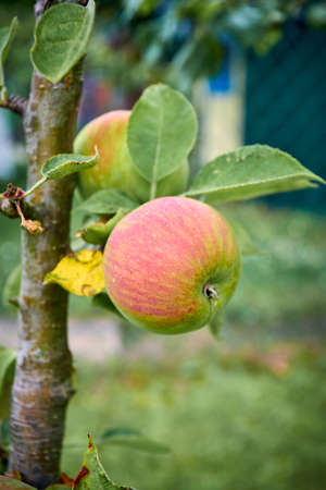 Apples on the tree.