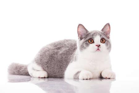 Beautiful gray kitten on a white