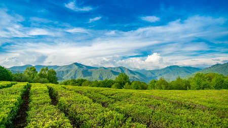 Amazing landscape view of tea plantation Banco de Imagens