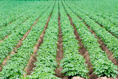 Potatoes plantations grow in the field.