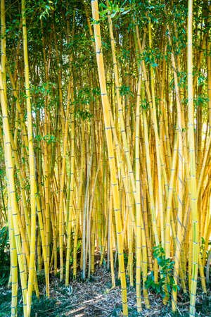 Bamboo sprouts forest. bamboo plant Banco de Imagens