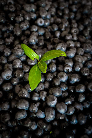 Fresh raw blueberries
