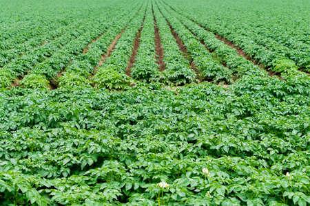 Potato field with green shoots of potatoes