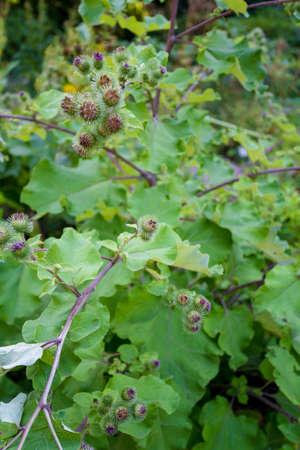 Flowering Great Burdock. Arctium lappa