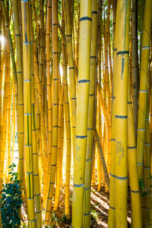 Bamboo forest.  nature background . bamboo plant