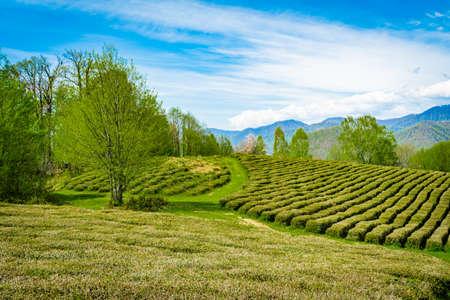 Vue imprenable sur le paysage de la plantation de thé