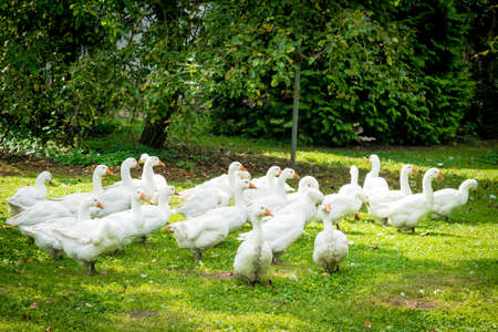 White geese. Geese in the grass. Domestic bird
